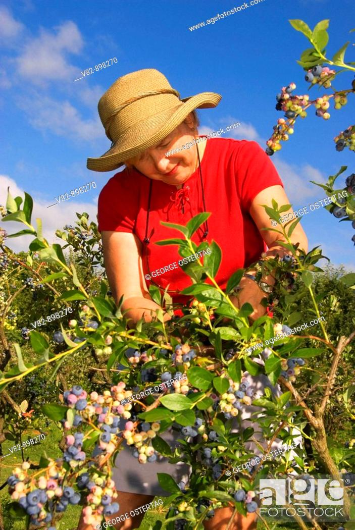 Stock Photo: OR36744 Upick blueberries, Marion County, OR.