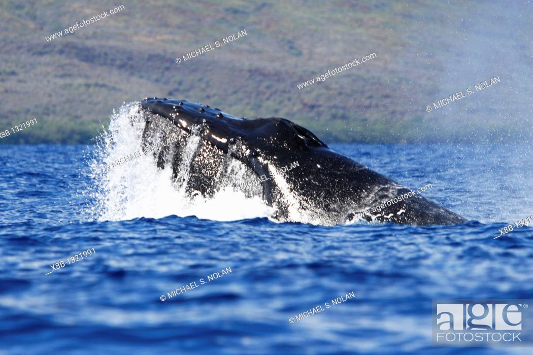 Stock Photo: Adult humpback Whale Megaptera novaeangliae head-lunge in competitive group possible mating behavior in the AuAu Channel, Maui, Hawaii, USA  Pacific Ocean.
