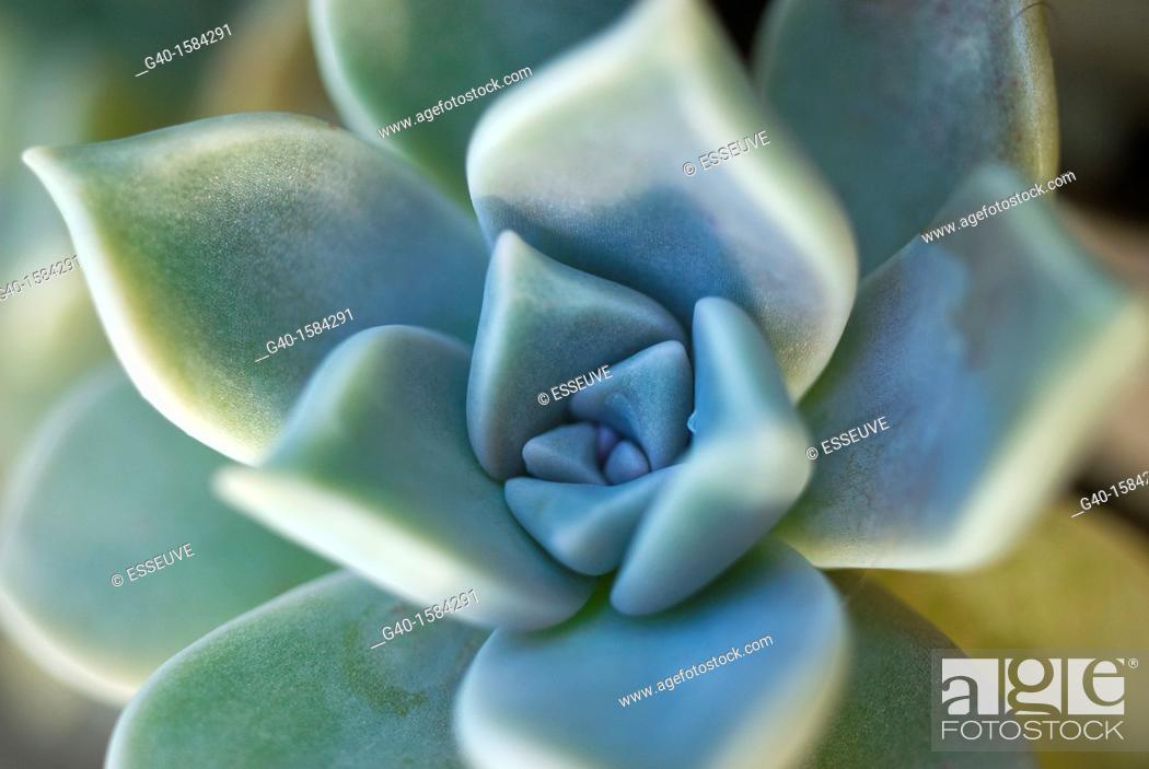 Stock Photo: Crass Flower.