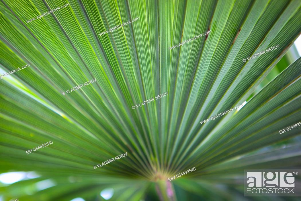 Stock Photo: Closeup photo of a palm tree in the spring in Pomorie, Bulgaria.
