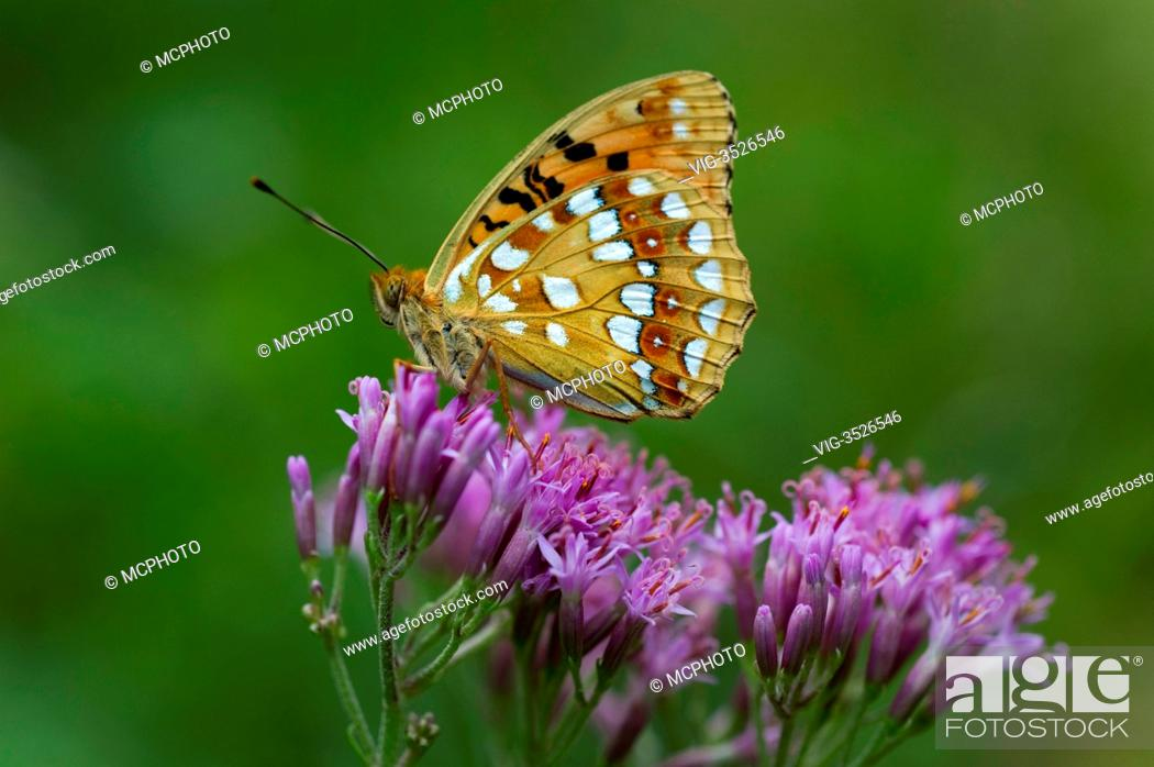 Stock Photo: Silverwashed Fritillary (Argynnis paphia) nationalpark lime alps, Upperaustria, Austria - 23/07/2011.