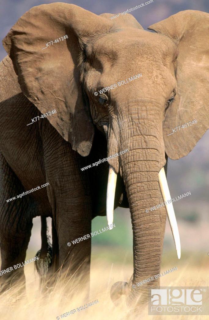 Stock Photo: African Elephant (Loxodonta africana). Samburu National Reserve. Kenya.