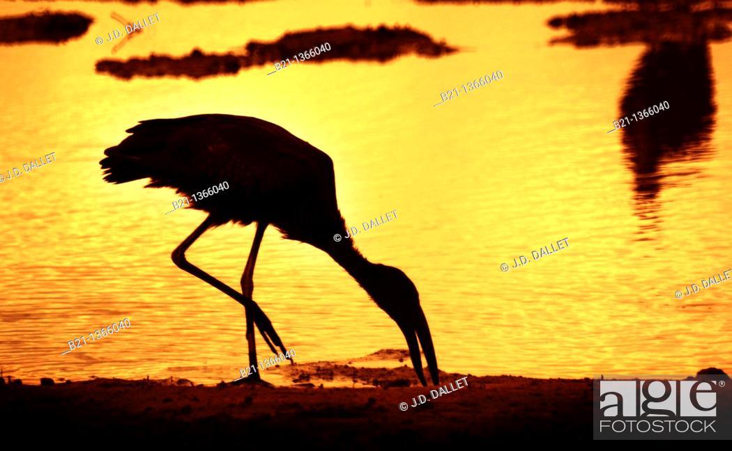 Stock Photo: Ibis, Okavango Delta, Moremi Game Reserve, Botswana.