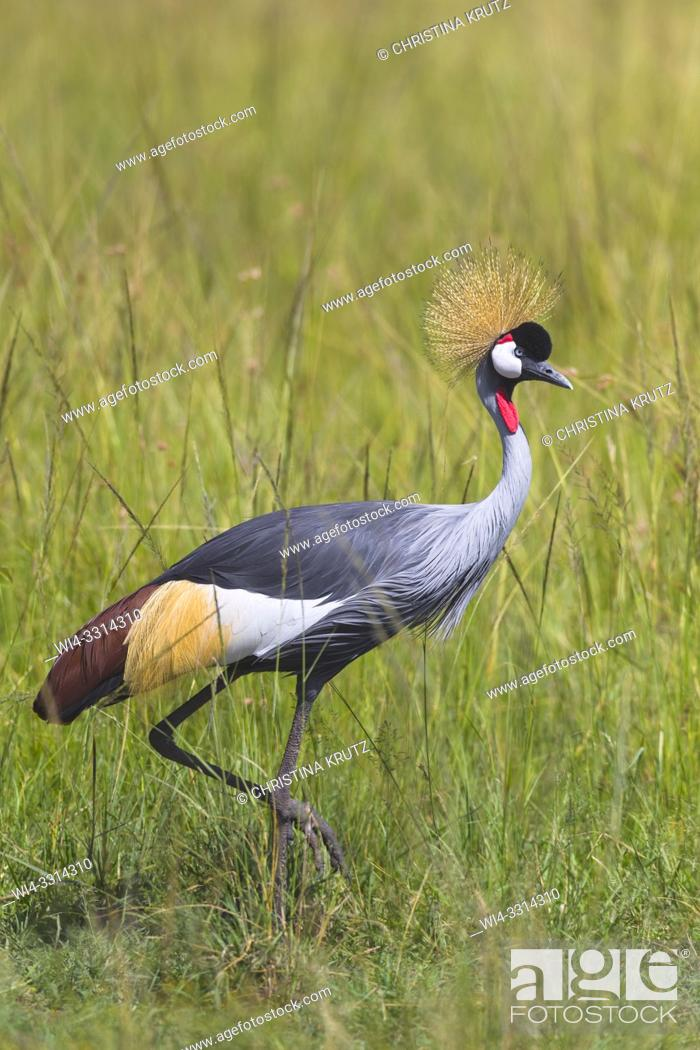 Stock Photo: Grey-crowned Crane (Balearica regulorum), Maasai Mara National Reserve, Kenya, Africa.