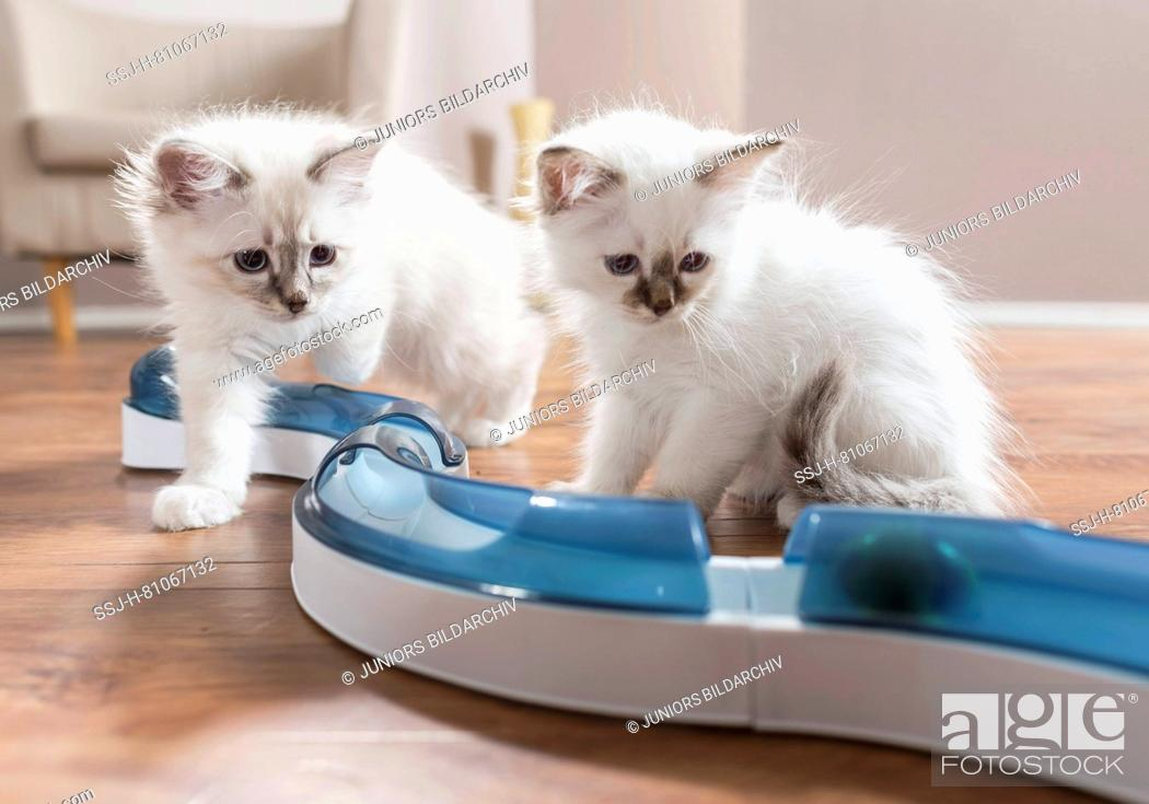 Stock Photo: Sacred Birman. Two kittens watching a ball in fun game (speed circuit). Germany .