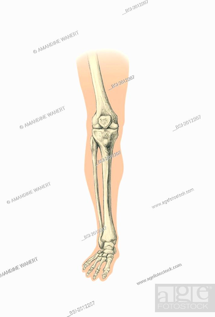 LEG, DRAWING Bone of the leg and foot. The bones of the leg and foot ...
