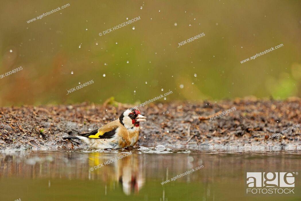 Imagen: Goldfinch (Carduelis carduelis) near the water, The Netherlands, Overijssel, HBN photo hide.