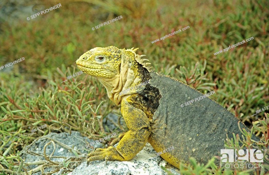 Stock Photo: Land iguana galapagos.