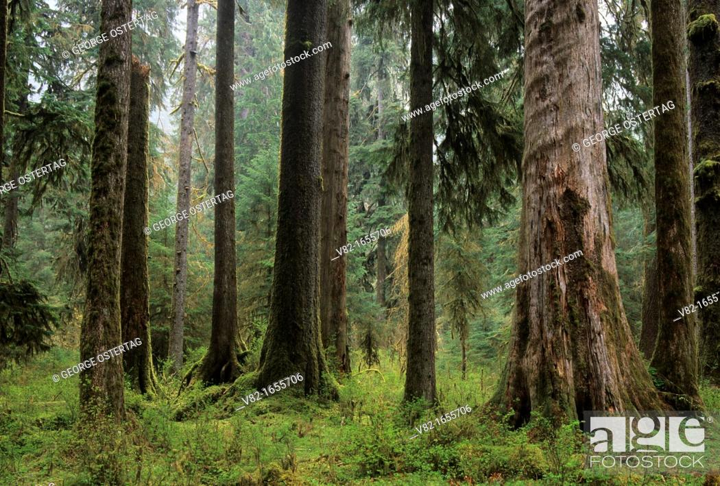 Stock Photo: Forest along Hall of Mosses Trail, Olympic National Park, Washington.