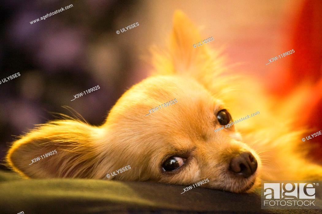 Stock Photo: europe, italy, dog, chihuahua.