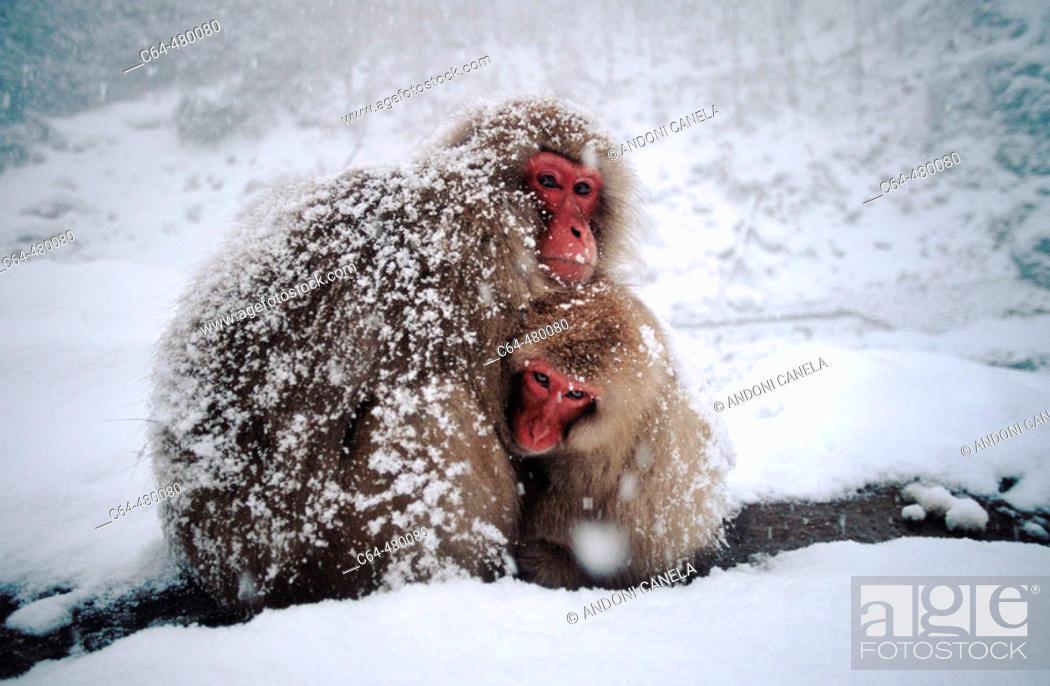 Stock Photo: Japanese macaque (Macaca fuscata). Joshinetsu National Park. Japan Alps. Japan.
