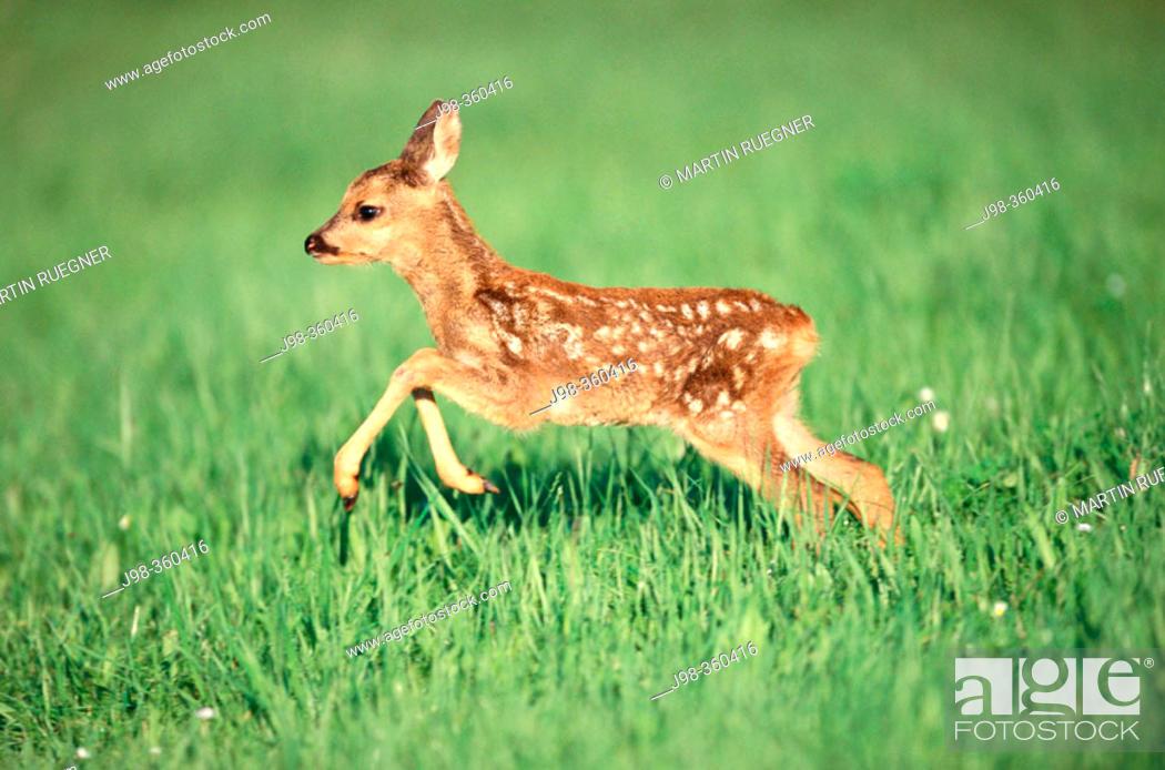 Stock Photo: Roe deer fawn (Capreolus capreolus). Bayern. Germany.