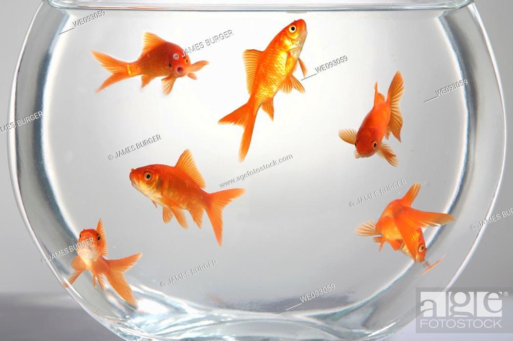 Stock Photo: Goldfish Bowl.