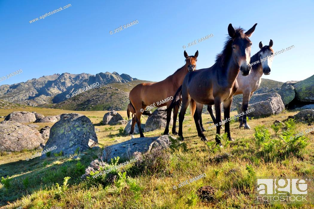 Stock Photo: Wild horses at the Rituerta pass. Sierra de Gredos. Avila. Castilla Leon. Spain. Europe.