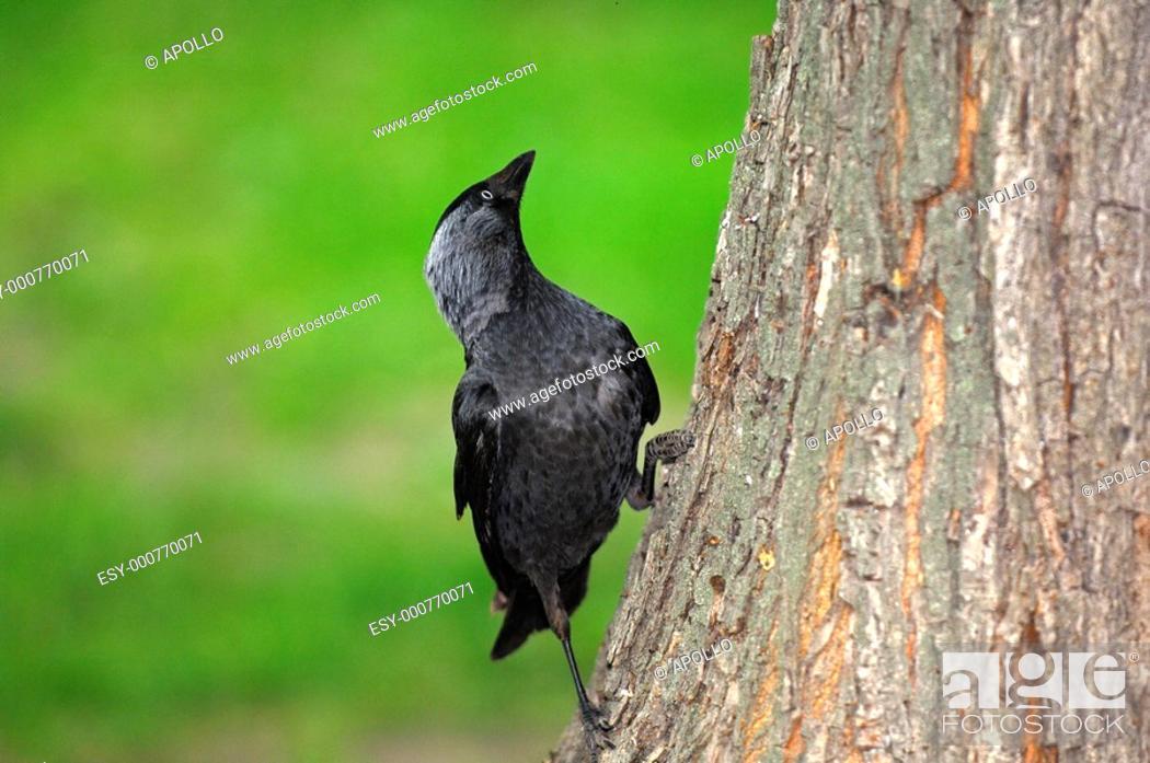 Stock Photo: Jackdaw Corvus monedula.