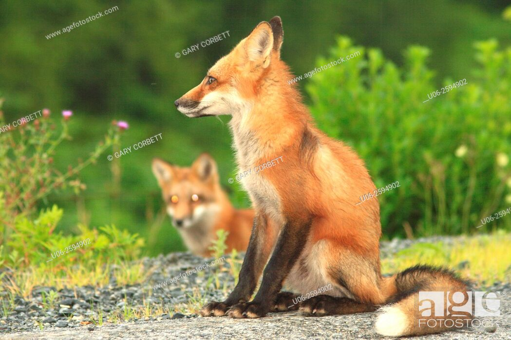 Stock Photo: Two red foxes on a field.