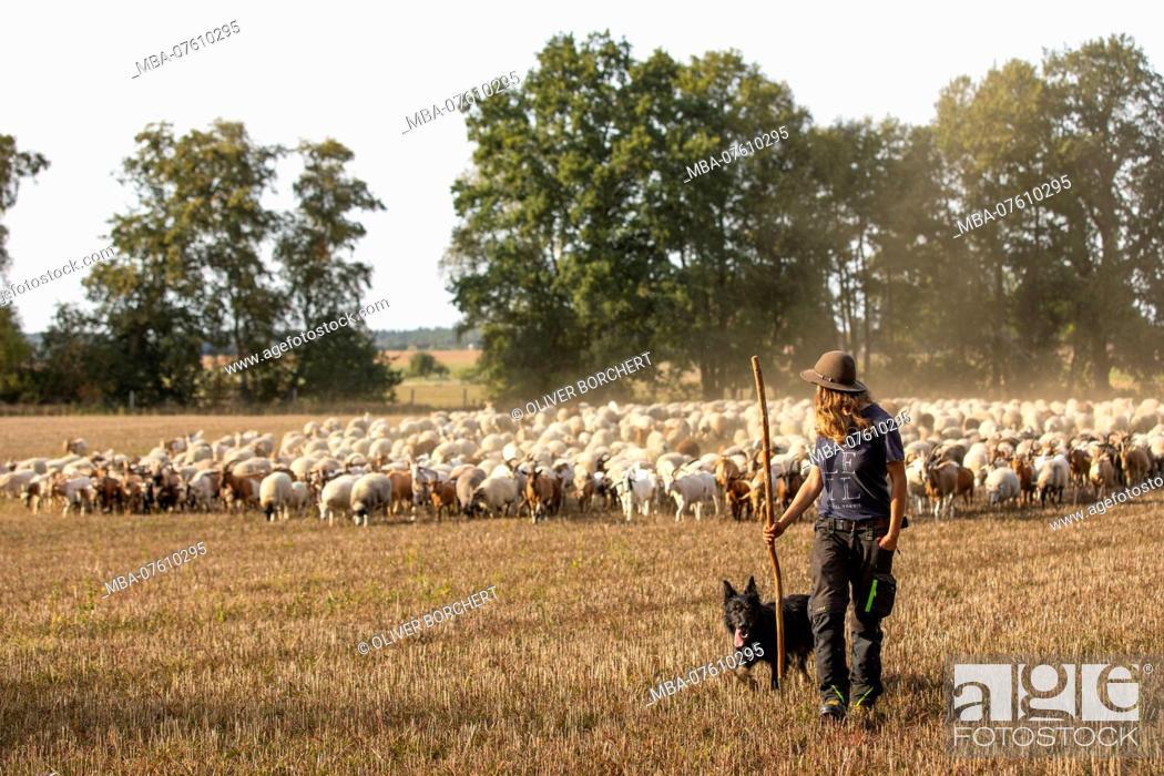 Stock Photo: Germany, Mecklenburg-Western Pomerania, shepherdess with dog and herd.