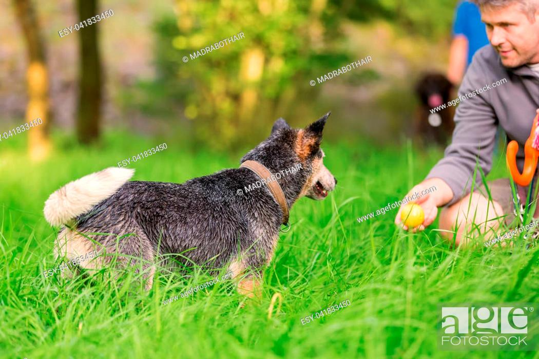 Stock Photo: picture of a man who plays with an Australian Cattledog outdoors.