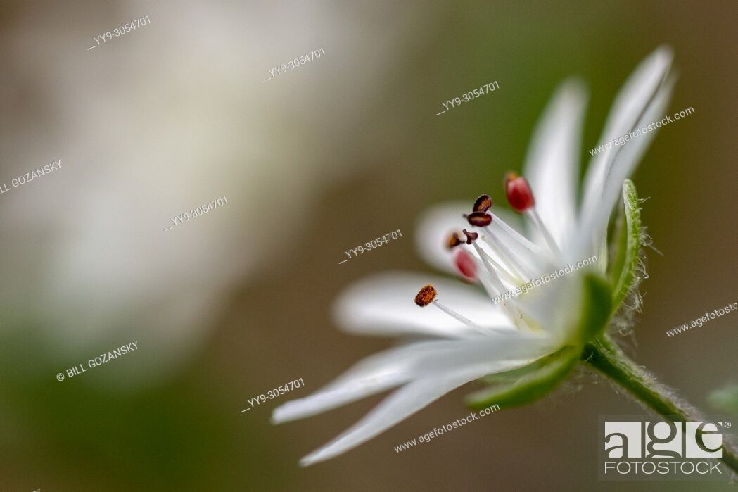 Stock Photo: Star Chickweed (Stellaria pubera) - Coontree Trail - Pisgah National Forest, Brevard, North Carolina, USA.