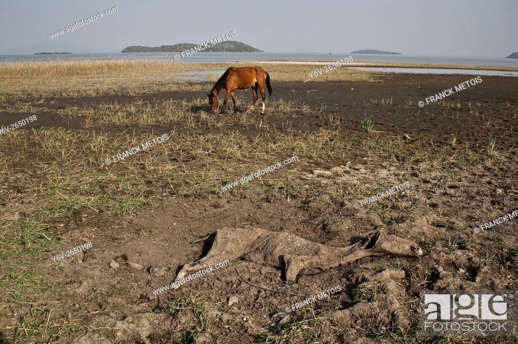 Stock Photo: The carcass of a horse, a horse and Lake Ziway in the background. Ziway ( Oromiya state, Ethiopia).