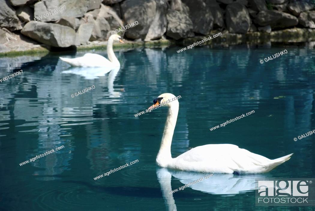Stock Photo: two swans.
