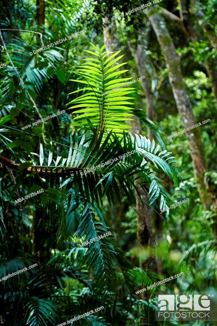 Stock Photo: Piccabeen palm, Archontophoenix cunninghamiana, in the morning in the rainforest, Mary Cairncross Scenic Reserve, Spring, Queensland, Australia.