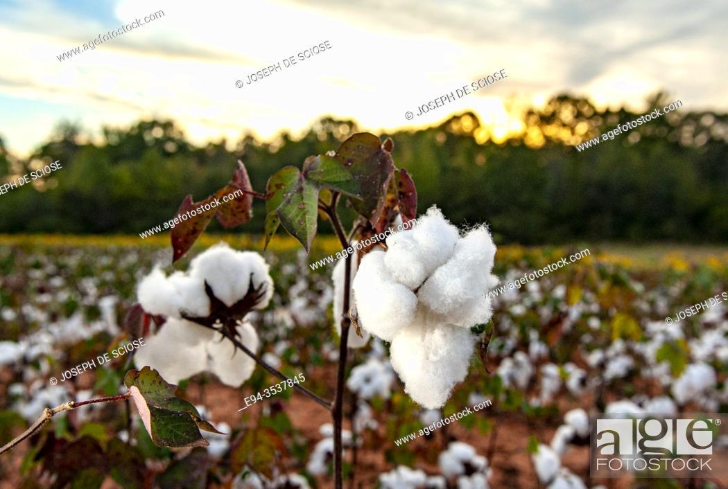 Stock Photo: Mature cotton plants before picking, Alabama, USA.
