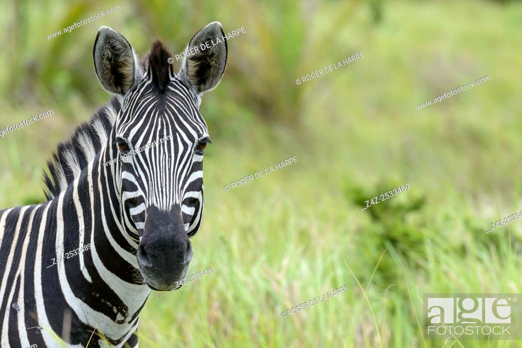 Imagen: Plains zebra, also known as the common zebra or Burchell's zebra (Equus quagga), formerly Equus burchellii). Western Shores. iSimangaliso Wetland Park.