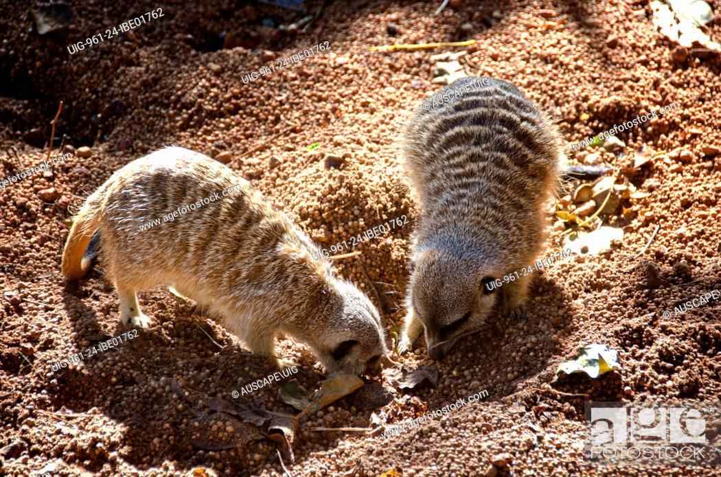 Stock Photo: Meerkats.