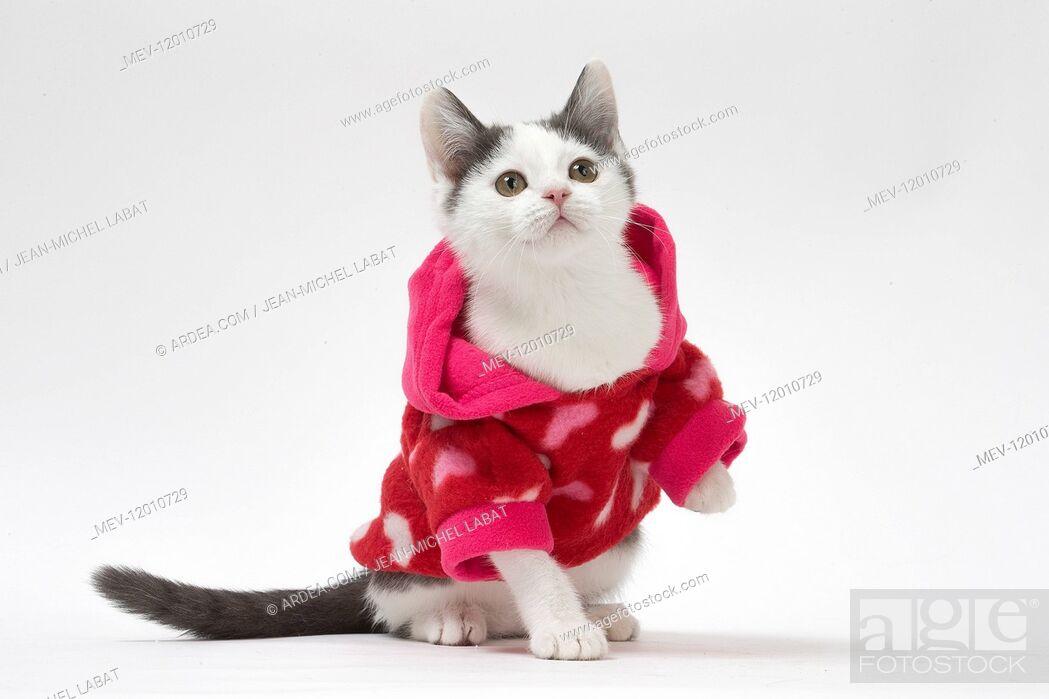 Stock Photo: Munchkin cat wearing a pink hoodie in the studio.
