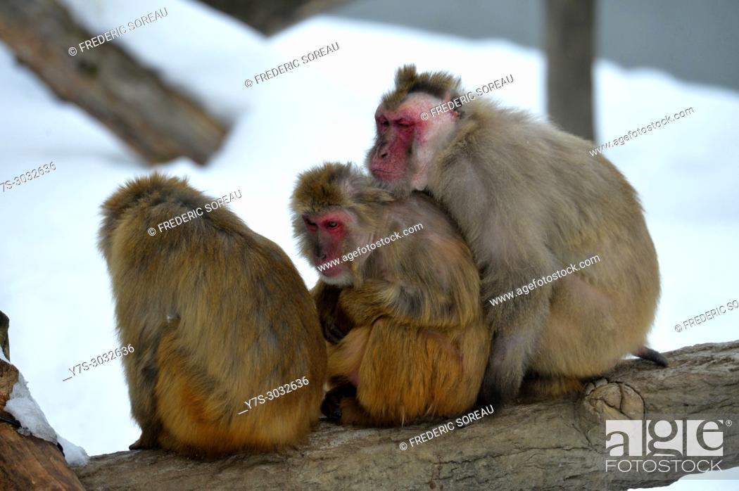 Stock Photo: Japanese monkey, Asahiyama Zoo, Asahikawa, Hokkaido, Japan, Asia.