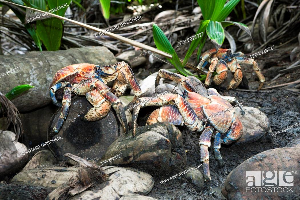 Stock Photo: Group of Robber Crab, Birgus latro, Christmas Island, Australia.