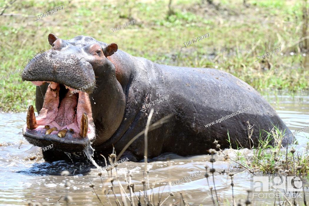 Stock Photo: Hippopotamus yawning (Hippopotamus amphibius) Akagera National Park, Rwanda.