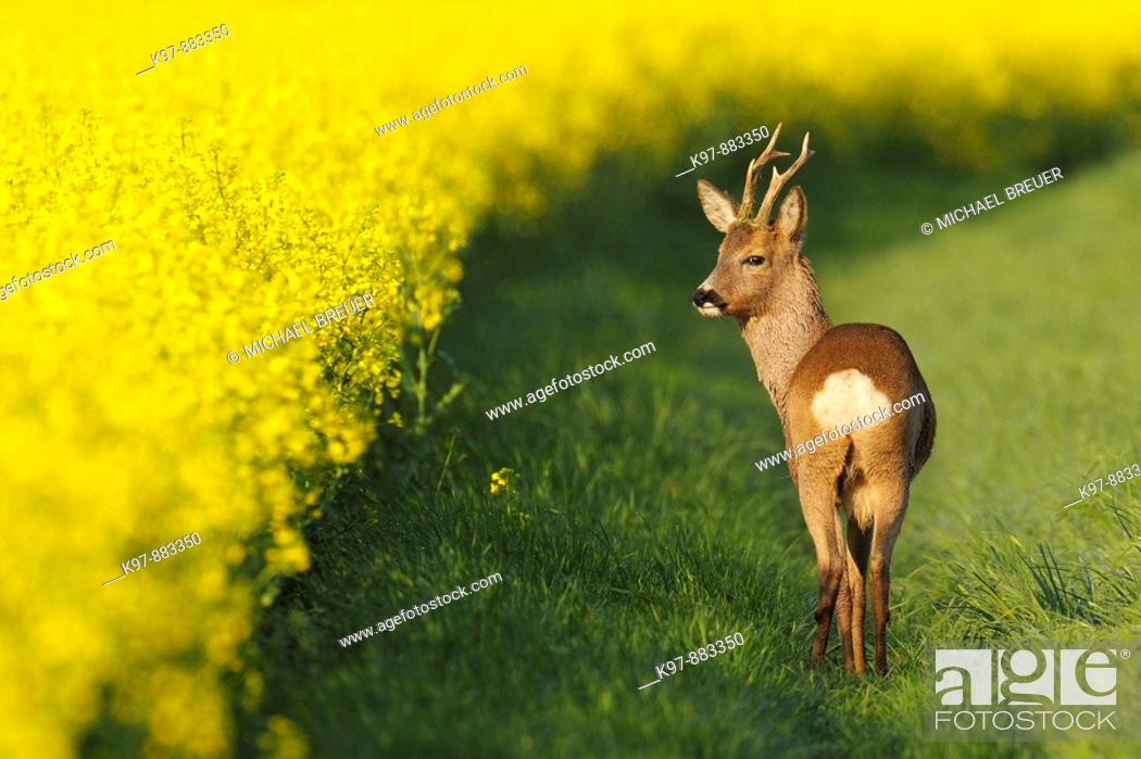Stock Photo: Roe buck (Capreolus capreolus)near rape field, ,Spring, Germany.
