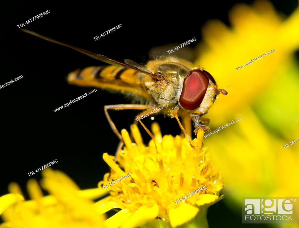 Stock Photo: A hoverfly on a dandelion, Syrphidae.
