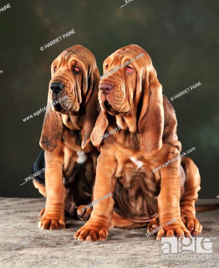 Stock Photo: Bloodhound Puppies.