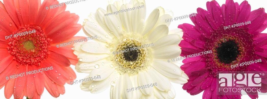 Stock Photo: Three assorted Gerbera flowers in a row.