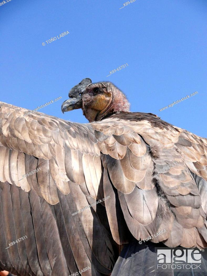 Stock Photo: Young condor.