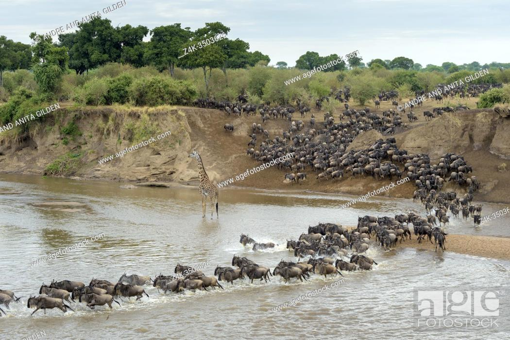 Imagen: Blue wildebeest, brindled gnu (Connochaetes taurinus) herd crossing the Mara river disturbed by a giraffe (Giraffa camelopardalis), Serengeti national park.