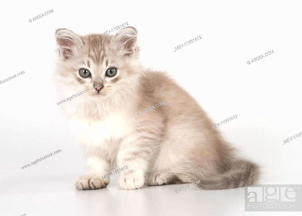 Imagen: CAT. Tiffanie kitten 7 weeks old ( chocolate silver ).