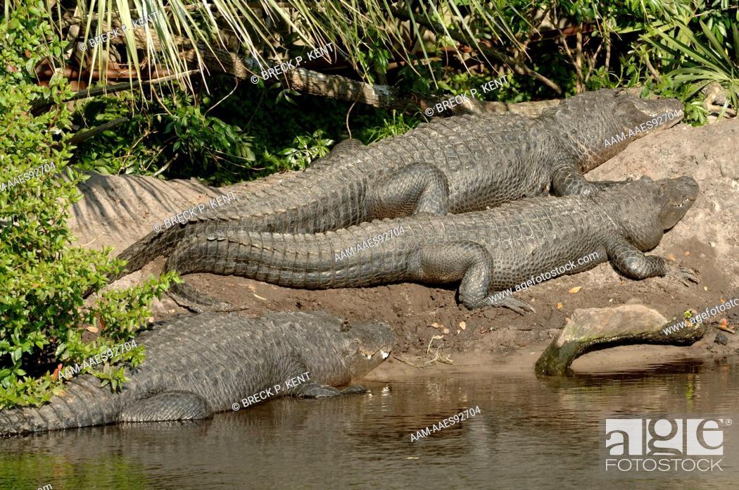 Stock Photo: American Alligators (Alligator mississipiensis) St. Augustine Alligator Farm Florida.