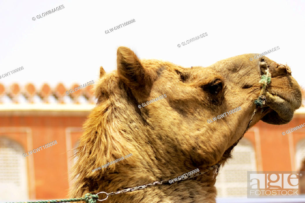 Stock Photo: Side profile of a camel, Jaipur, Rajasthan, India.