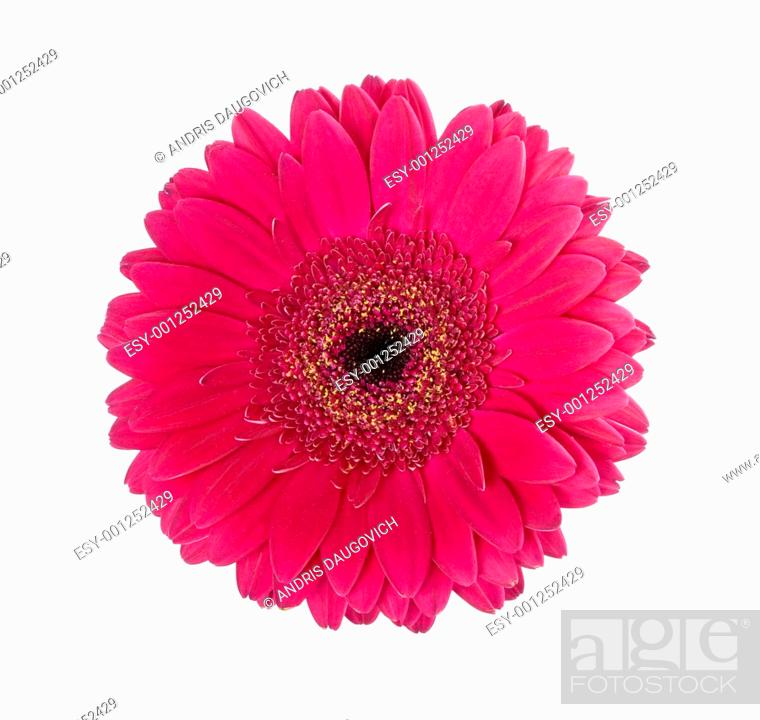 Stock Photo: Red gerbera.