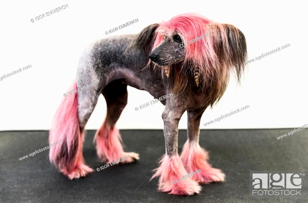 Stock Photo: Animal portrait of groomed dog with dyed shaved fur, looking away.