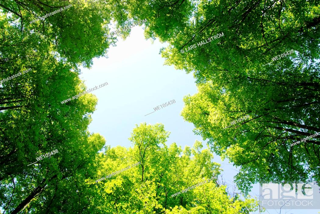 Stock Photo: Low angle view of trees in summertime, Sweden.
