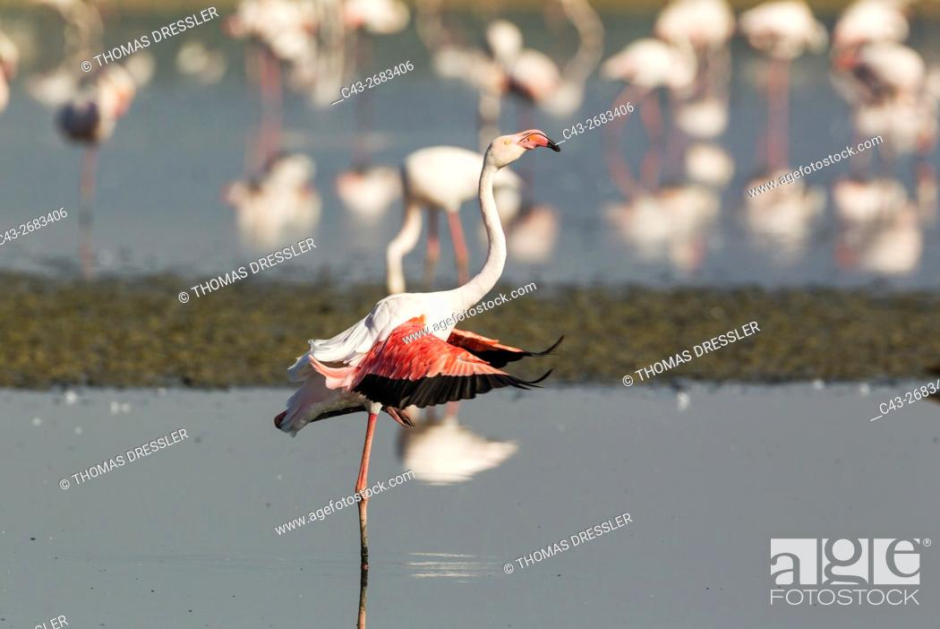 Stock Photo: Greater Flamingo (Phoenicopterus roseus) - Shaking water off the wings at the Laguna de Fuente de Piedra near the town of Antequera.