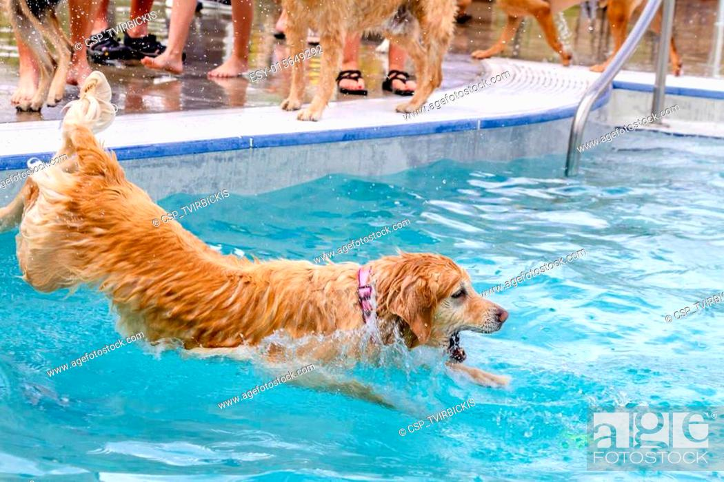 Dogs Swimming In Public Pool Stock