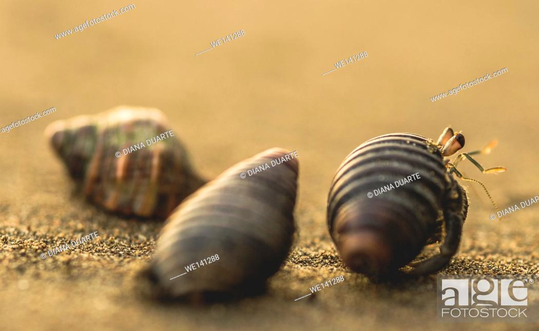 "Stock Photo: """"""""""Hermit Crab"""" (Paguroidea bernhardus), Aquatic hermit crabs might also conceivably benefit from having a more spacious interior shell."