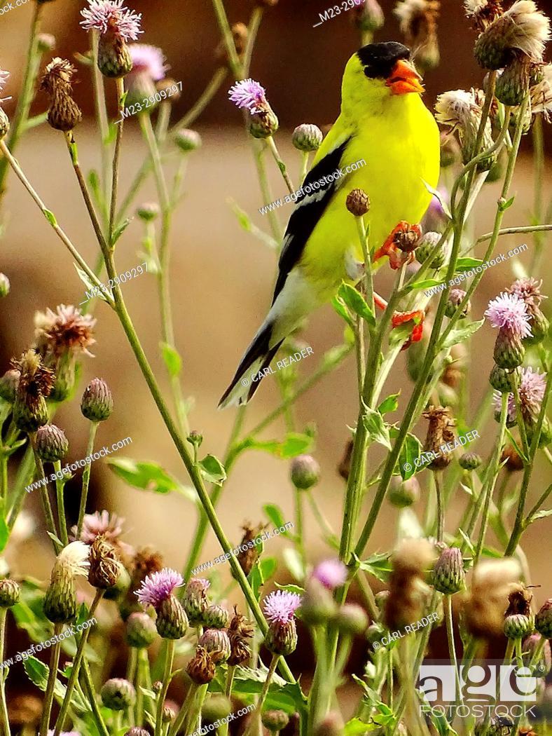 Stock Photo: An American goldfinch, cardeulis tristis, among bull thistle, Pennsylvania, USA.