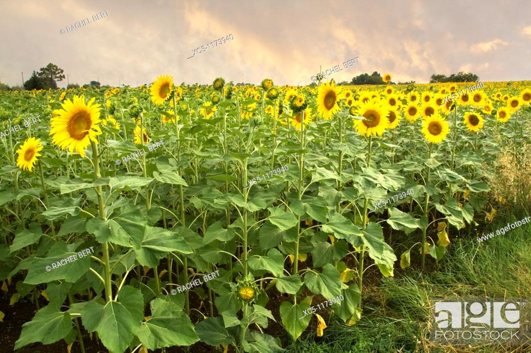 Stock Photo: Sunflowers, Colle Val d'Elsa landscape, Siena, Tuscany, italy.